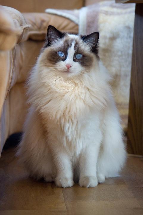 Unduh 66+  Gambar Kucing Ragdoll Imut HD