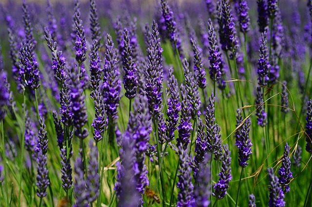 free photo lavender flowers, blue, flowers  free image on, Beautiful flower