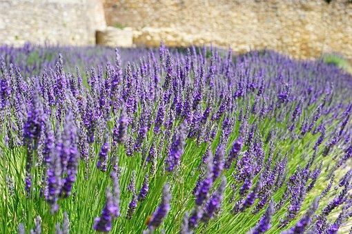 lavender flowers blue lavender field - French Lavender