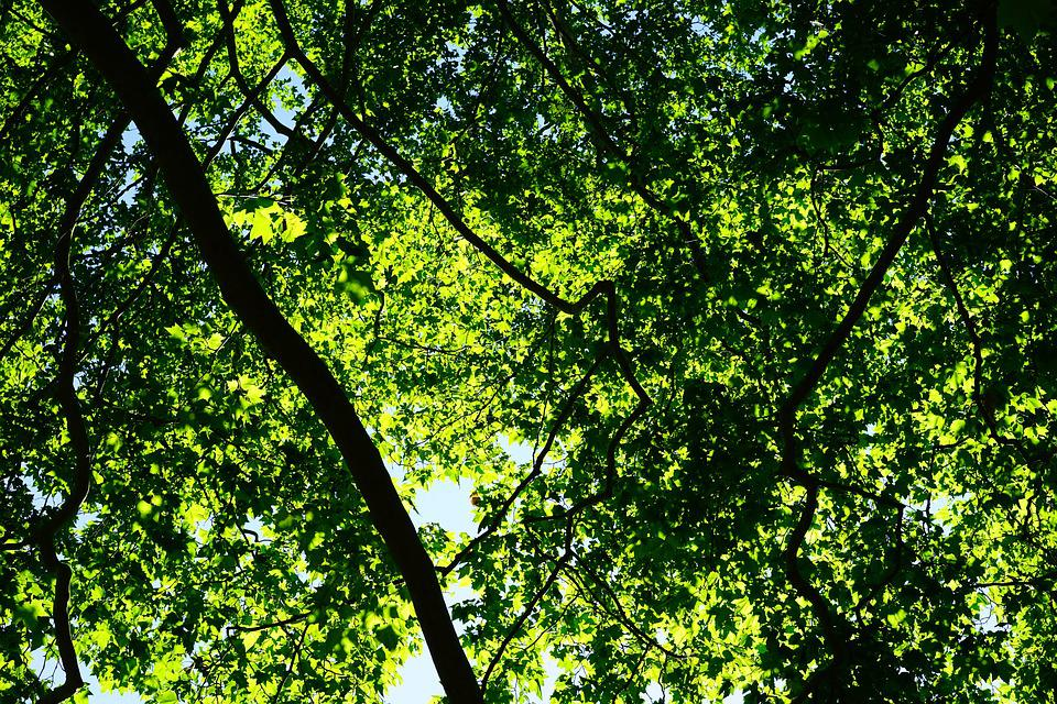 canopy green leaves trees spring summer plane & Free photo: Canopy Green Leaves Trees - Free Image on Pixabay ...