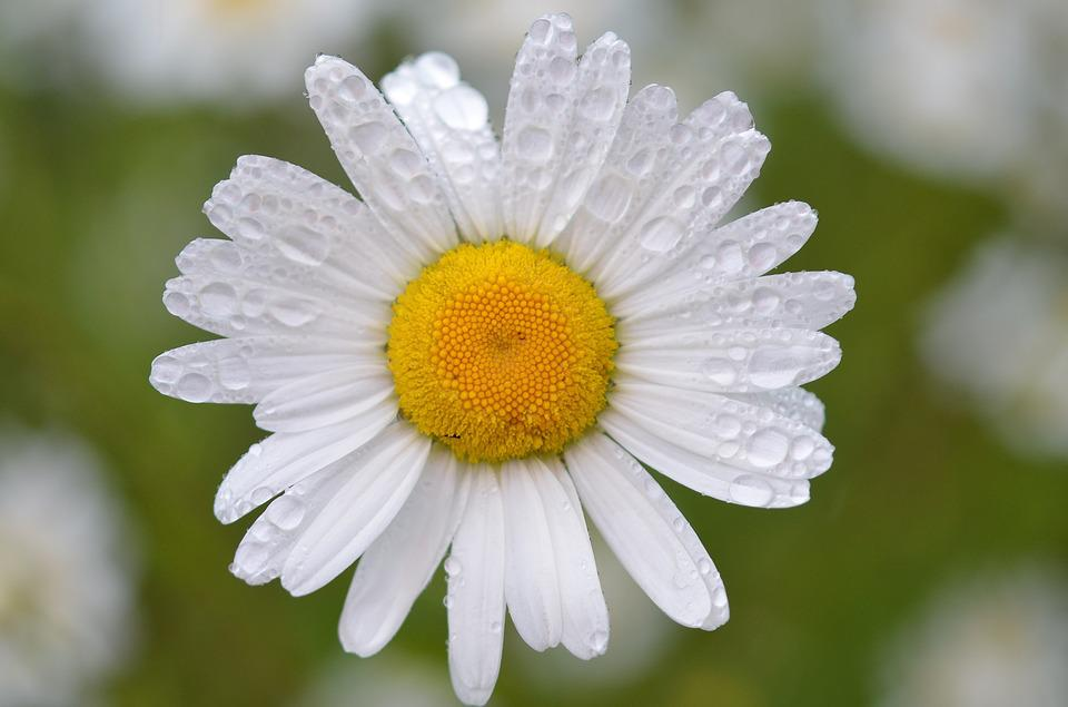 free photo daisy, flower, white, nature, bloom  free image on, Natural flower