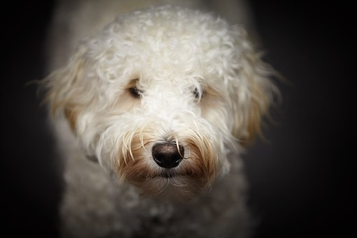 Labradoodle Puppies for sale in Missouri