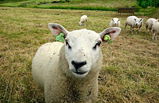 Sheep, Animal, Farm Animal, Wool