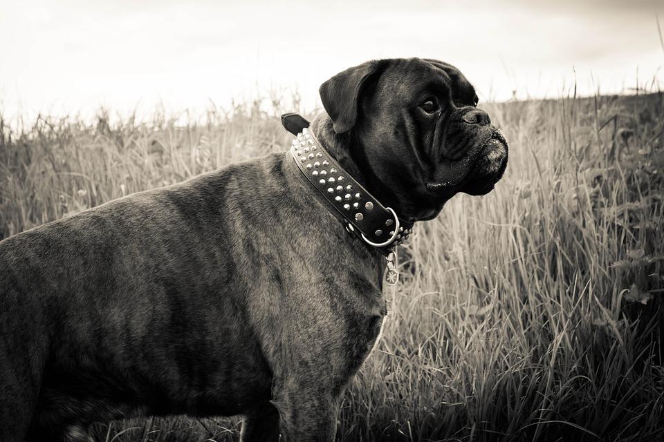 черный боксер собака фото