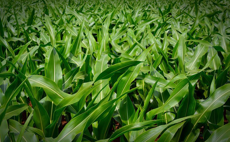 Corn Plant corn, plant - free pictures on pixabay