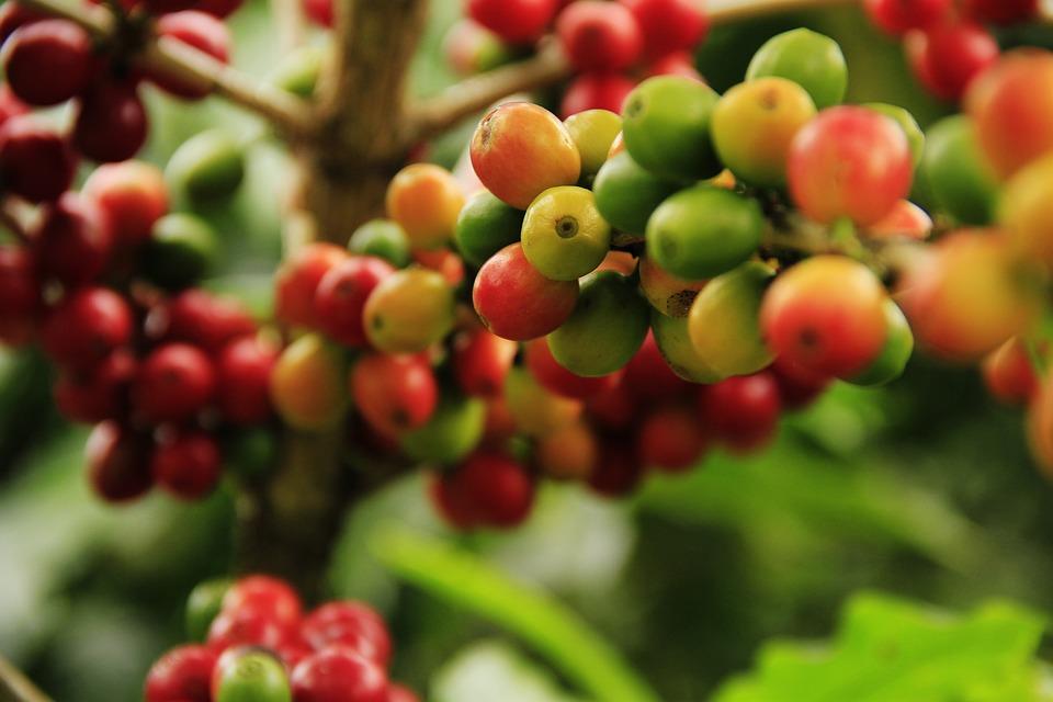 Coffee Grains, Mature, Farming, Plant, Cousins, Crop