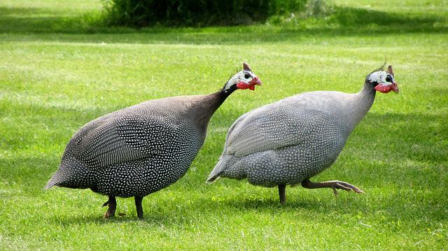 Free Photo Guinea Fowl, Dot Chickens - Free Image On -7534
