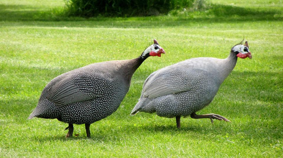 Free Photo Guinea Fowl, Dot Chickens - Free Image On -6291