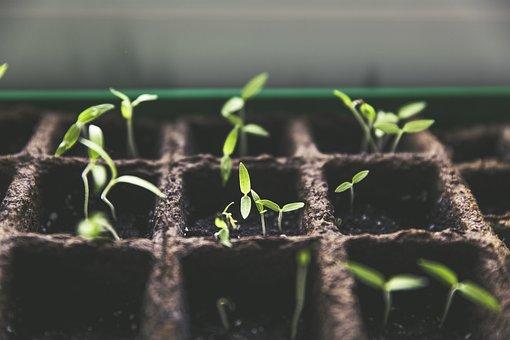 工場, 繁殖, トマト果実, 庭, ホーム ガーデン, 収穫, 緑, ポット栽培