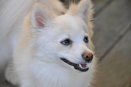 Dog, Pomeranian, White, Pet, Canine