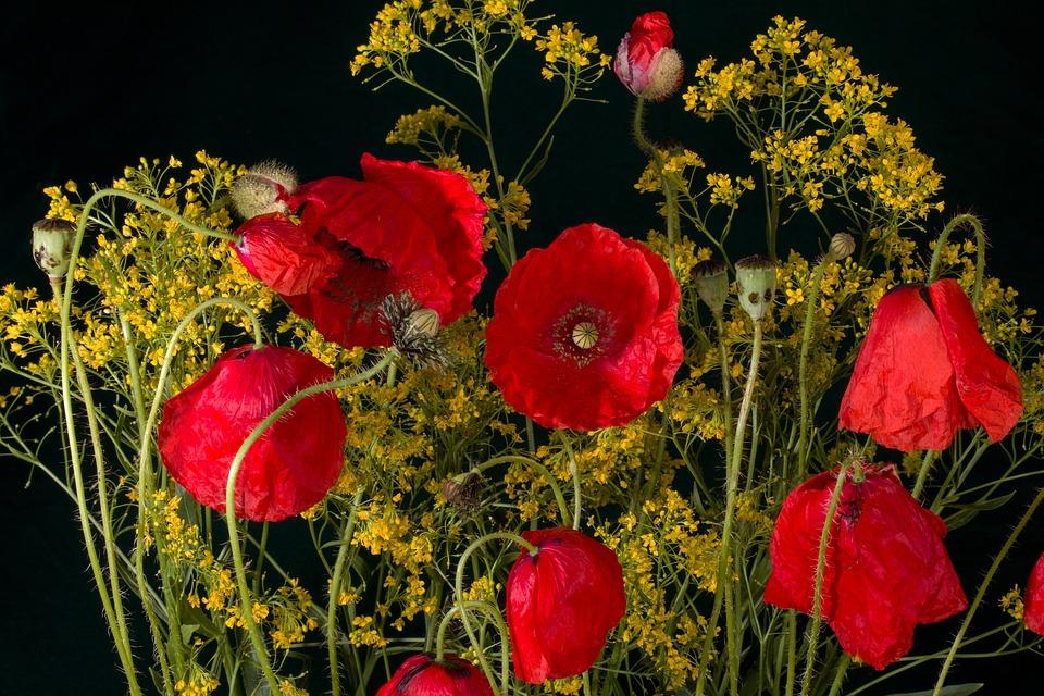 Blumen, Mohn, Mohnblüte, Rot, Roter Mohn, Mohnblume
