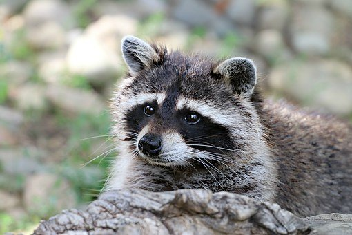 Raccoon, Animal, Wild, View, Forest