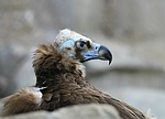 vulture, bird, scavenger