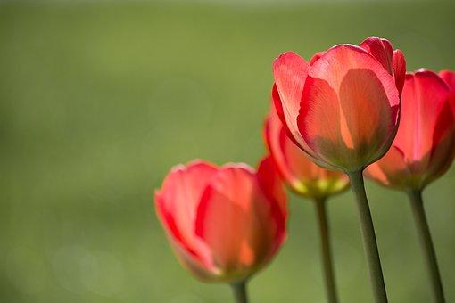 Tulipes, Rouge, Tulipe Rouge, Jardin