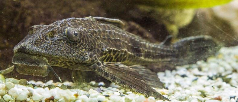 Aquarium, Wels, Signs Catfish, Fish