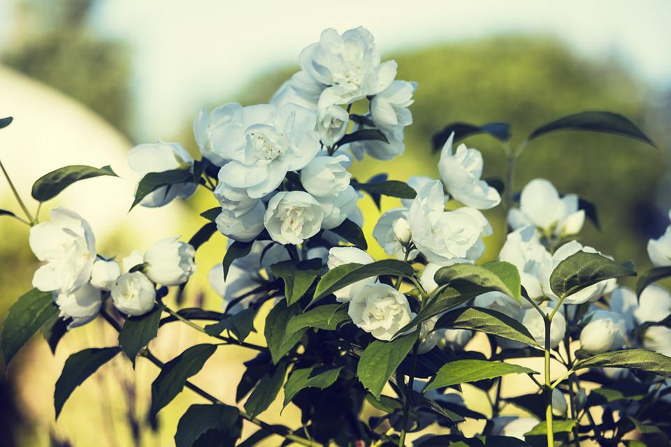 Jasmine white summer flowers free photo on pixabay jasmine white summer flowers nature flower mightylinksfo