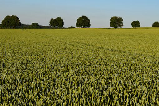 Agriculture, Cornfield, Summer, Horizon
