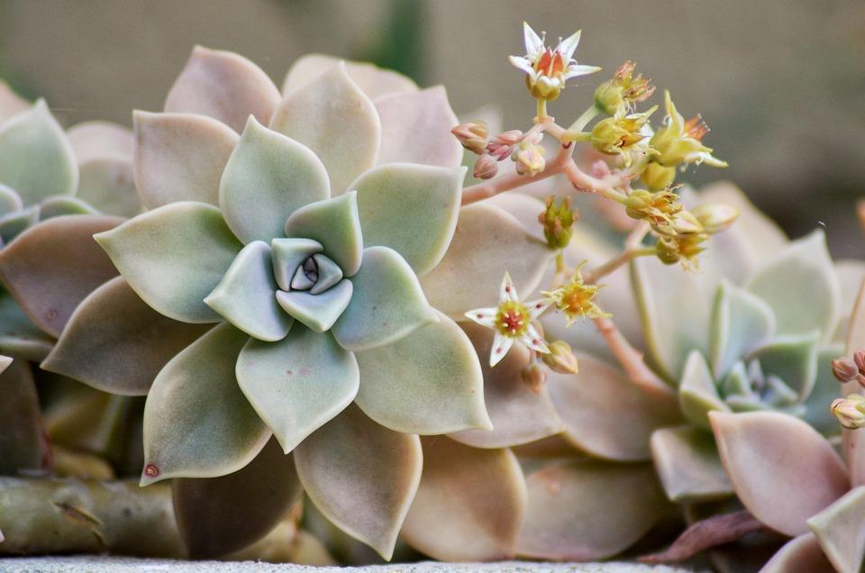 plante grasse fleur rose achetez en ligne le sedum meteor et admirez en fin dut ses larges. Black Bedroom Furniture Sets. Home Design Ideas