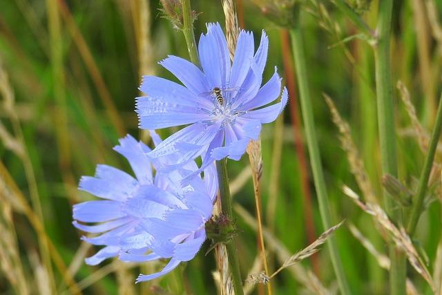 Картинки цикория цветка