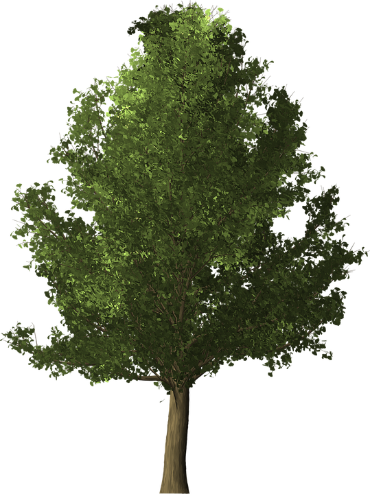 Free illustration: Ginkgo Tree, Ginkgo, Tree - Free Image on Pixabay ...