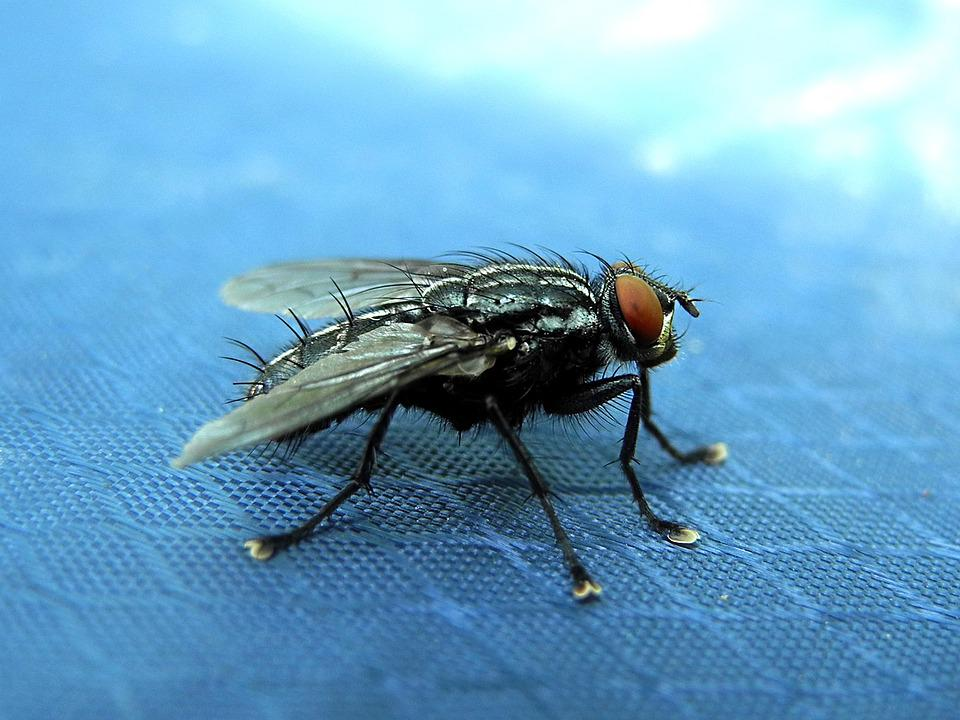 free photo fly housefly must wings insect free image on pixabay 1480870. Black Bedroom Furniture Sets. Home Design Ideas