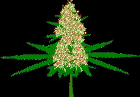 Cannabis Bud Marijuana Hemp Plant Medicine