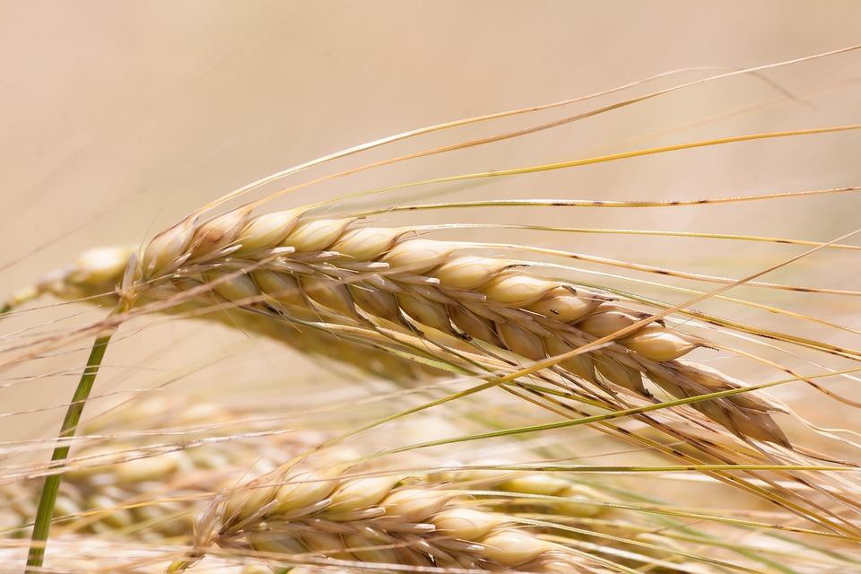 Kostenloses Foto: Ähre, Gerste, Getreide, Fruchtstand