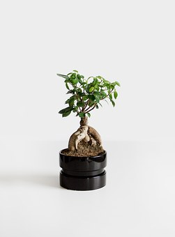 bonsai free images on pixabay. Black Bedroom Furniture Sets. Home Design Ideas
