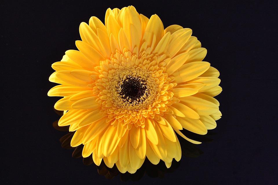 Fiori Gialli Tipo Margherite.Fiore Giallo Margherita Fiori Foto Gratis Su Pixabay