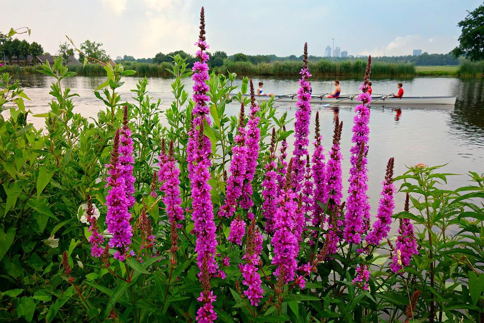 Purple Loosestrife, Lythrum, Flower, Plant, Blooming