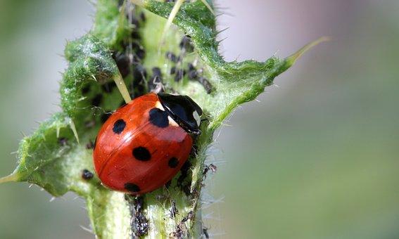 Ladybug, Beetle, Coccinellidae, Insect