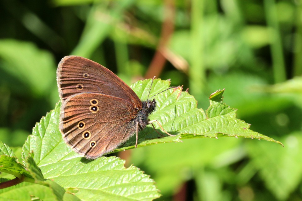 Farfalla Marrone Waldvogel - Foto gratis su Pixabay