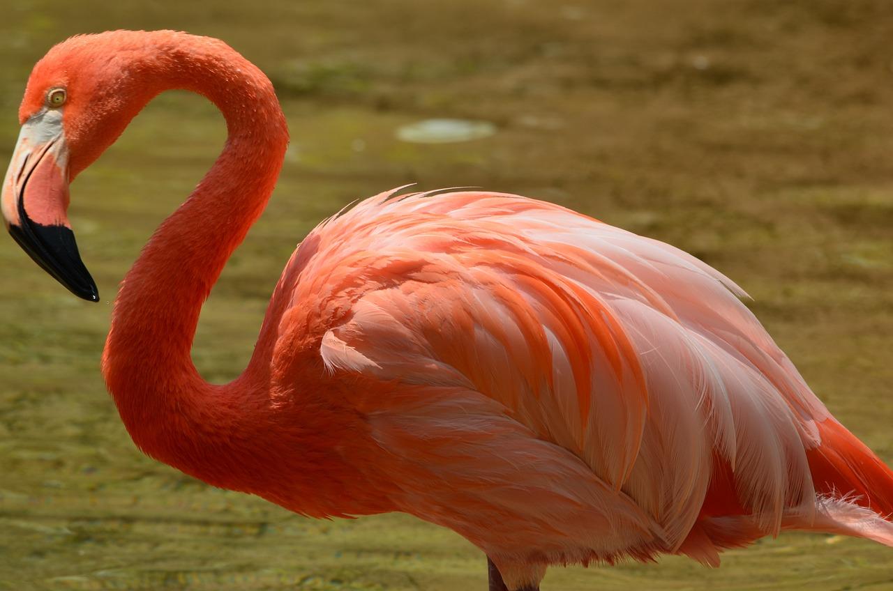 розовый фламинго фотографии набралось очень много
