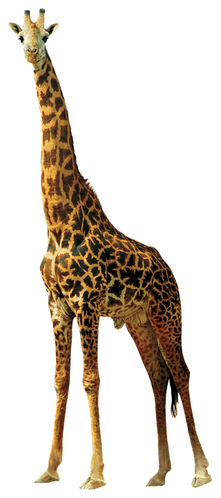 giraffe animals nature  u00b7 free photo on pixabay zebra vector images zebra vector tileable