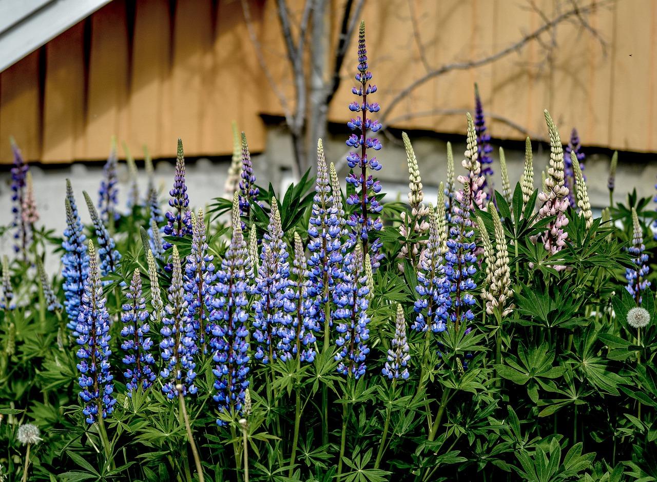 Люпины фото цветов агротехника
