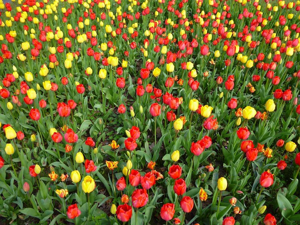 Tulip field spring flowers yellow free photo on pixabay tulip field spring flowers yellow red flowers mightylinksfo Images