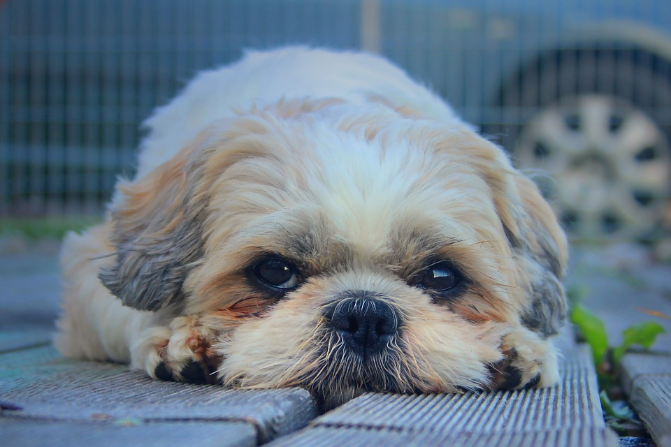 Dog Shih Tzu Pet Free Photo On Pixabay