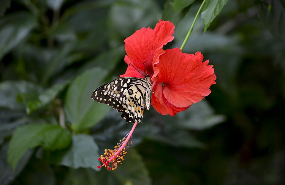 free photo hibiscus, flower, red, blooming  free image on, Beautiful flower