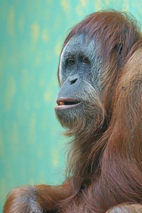 Orang Utan Monyet Dunia Lama Kera