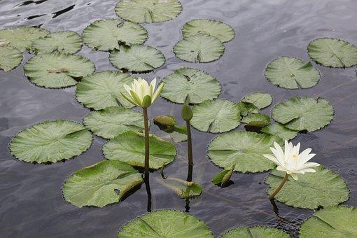 Lotus Flowers, Vietnam, Ao