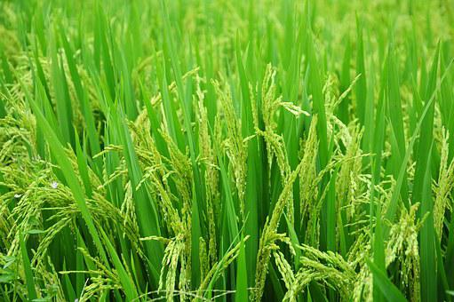 Rice, Field, Paddy, Food, Green, Farm