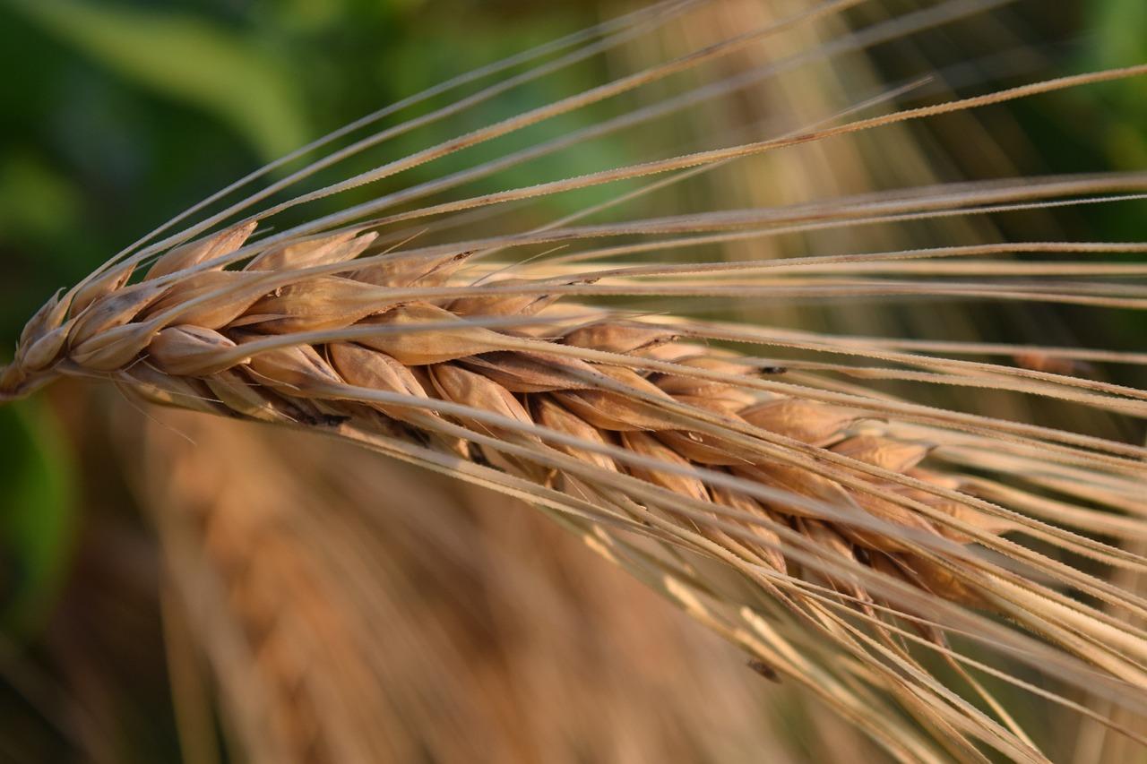 фото ячменя пшеницы ржи дореволюционные фотографии, сделанные