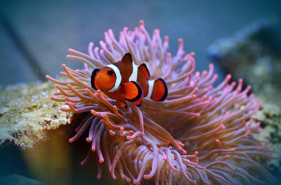 clownfish - negombo
