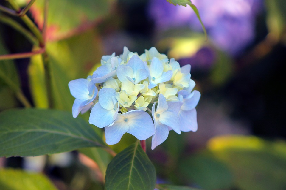 free photo hydrangea, flower, garden, green  free image on, Beautiful flower