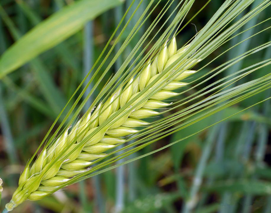 Barley Ear Awns Immature Green Cereals