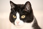 cat, black, white