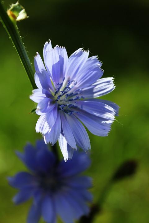Chicoree Blume Lila Blüte Schöne Kostenloses Foto Auf Pixabay