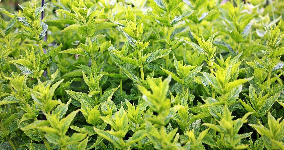 Menta, Menta Verde, Planta, Planta A Base De Hierbas
