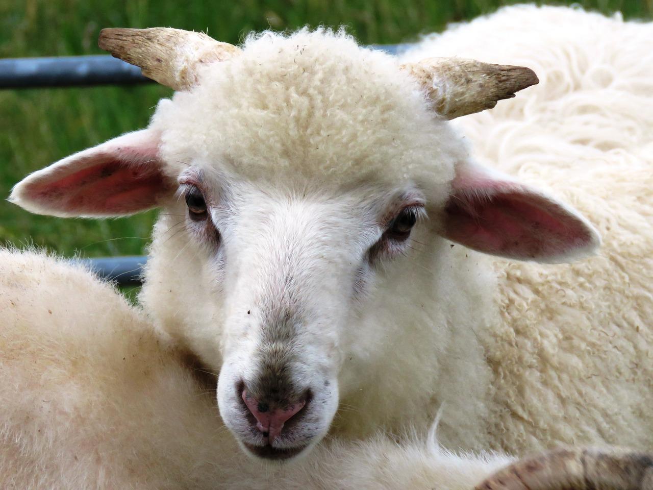 Картинка овечки или барана