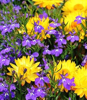 Strohblumen Trocknen strohblumen kostenlose bilder auf pixabay